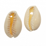 Perles Coquillage Cauris (20 - 23 mm) Seashell (25g / env. 16 pièces)