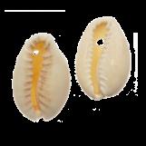 Perles Coquillage Cauris (15 - 20 mm) Seashell (25g / env. 36 pièces)